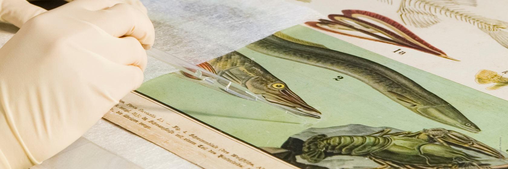 Restauración de un cartel con ilustraciones científicas